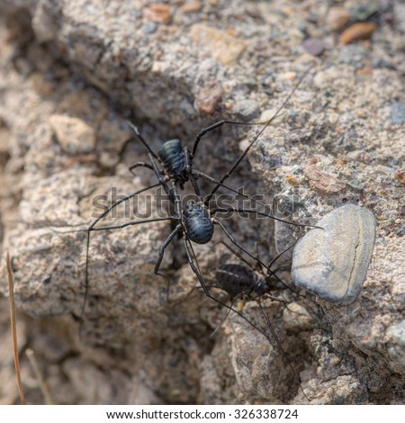 Black spiders close up on a stone