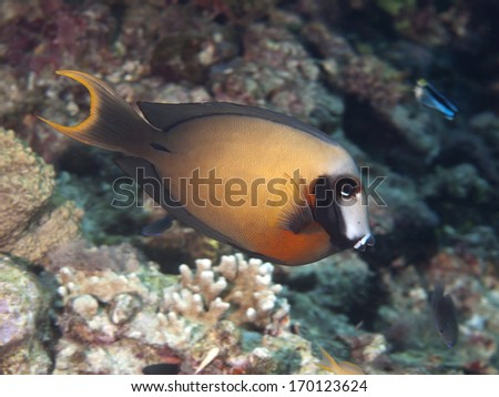 Black-spot surgeonfish in Bohol sea, Phlippines Islands - stock photo