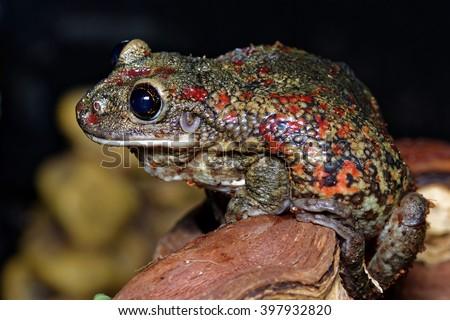 Black-spotted casque-headed tree frog (Trachycephalus nigromaculatus) closeup - stock photo