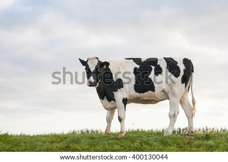 Black spotted heifer stands gazing on top of a embankment with a few blades of grass in her mouth. - stock photo