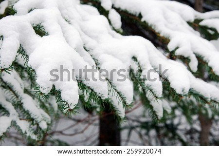 Black spruce coniferous trees with thick snow - stock photo