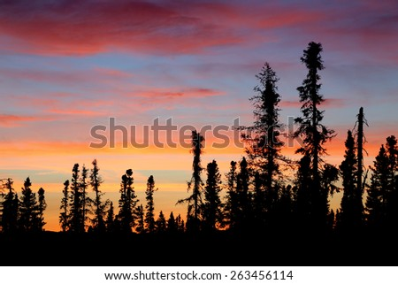 Black spruce trees sihoutted against a brilliantly colorful sunset