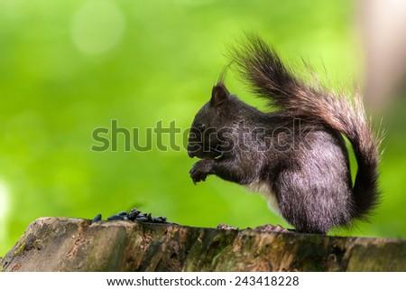 black squirrel side view on tree stump - stock photo