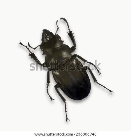 Black stag beetle isolated on white background