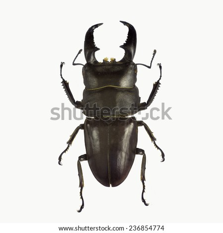 Black stag beetle isolated on white background - stock photo
