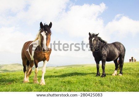 Black stallion and young paint horse on the mountain pasture