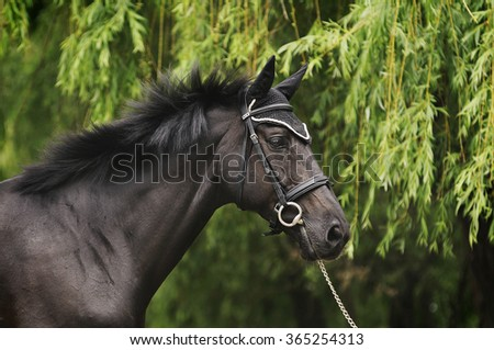Black stallion on the green background.