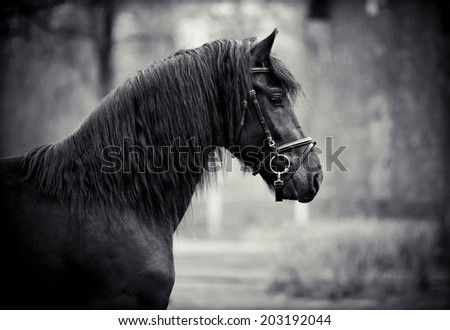 Black stallion. Portrait of a sports black horse. Thoroughbred horse. Beautiful horse. Sports horse. - stock photo