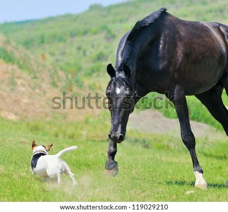 Black stallion running after jack russel terrier - stock photo