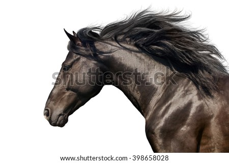 Black stallion with long mane in motion portrait isolated on white background - stock photo