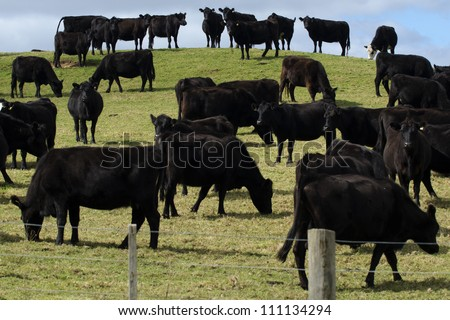 Black steers bulls on a field of a beef farm in New Zealand. - stock photo