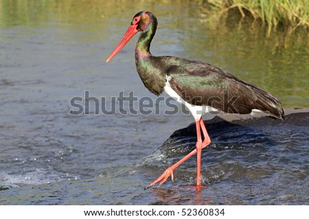 Black Stork - stock photo