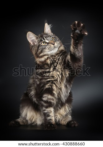 Black stripped maine coon kitten on black background - stock photo