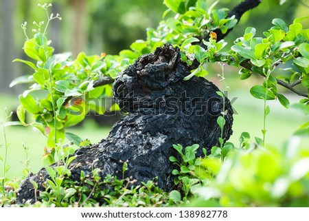 black stump bonsai in the garden - stock photo