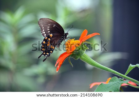 Black Swallowtail Butterfly lands on a flower