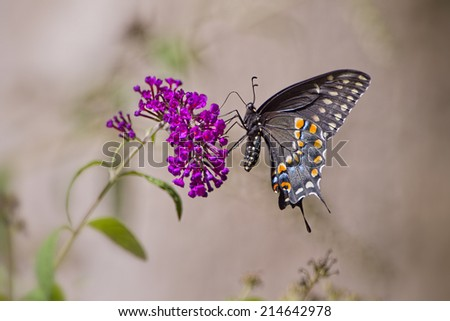 Black Swallowtail Butterfly on Butterfly Bush Blossom - stock photo