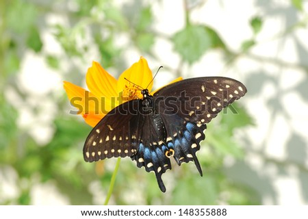 Black Swallowtail Butterfly using Proboscis to Sip Nectar - stock photo