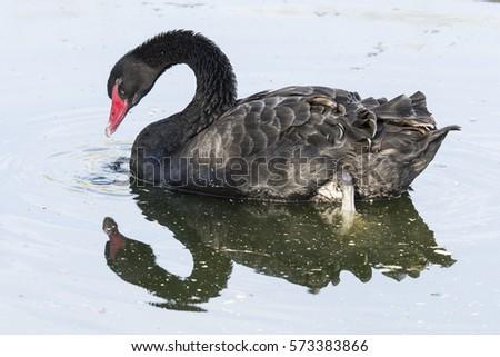 black swan mirror in water