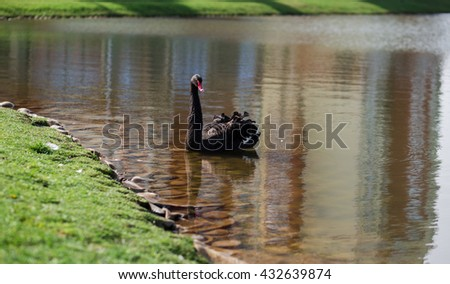 Black swan on the lake looking to camera - stock photo