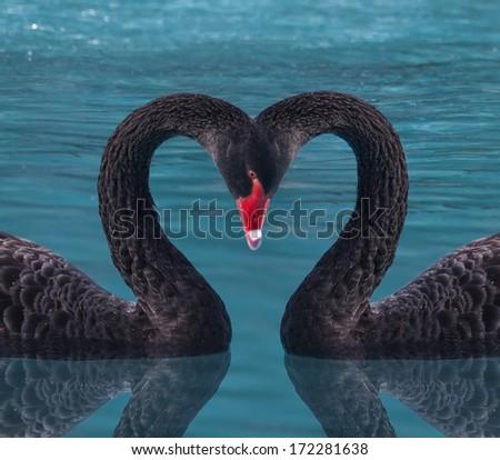 Black Swan's Hearts  - stock photo