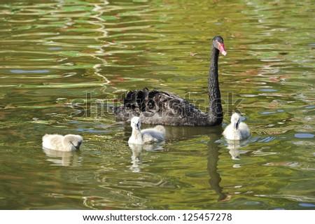 Black swans family. - stock photo