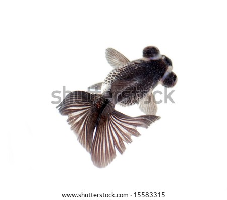 black swimming fish isolated on white background.