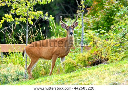 Black tailed deer buck with growing velvet antlers standing in a green city park.