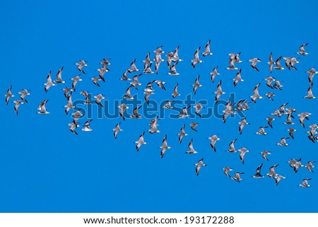 Black-tailed God-wit and Bar-tailed God-wit birds, Flying in the blue sky - stock photo