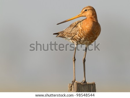 Black Tailed Godwit at a grey background - stock photo
