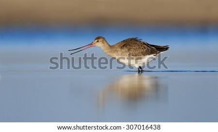 Black-tailed Godwit (Limosa limosa) displays its flexible beak early in the morning at Manych lake. Kalmykia, Russia