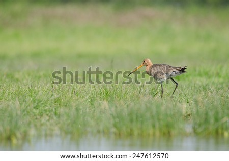 black-tailed godwit (limosa limosa) walking - stock photo