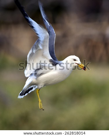 Black-tailed Gull)