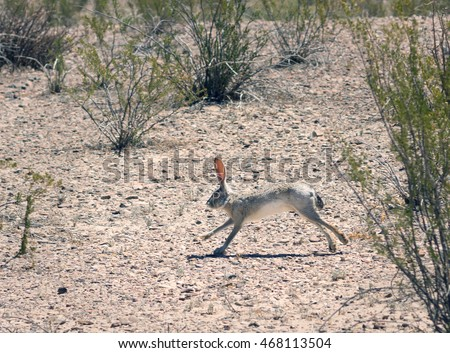 Black-tailed Jackrabbit (Lepus californicus) running among the creosote bush.   Big Bend National Park, Texas, United States