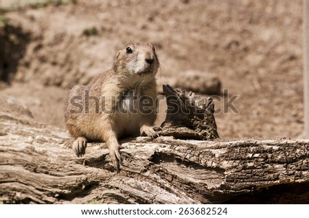 Black-tailed prairie dog. American animal. - stock photo