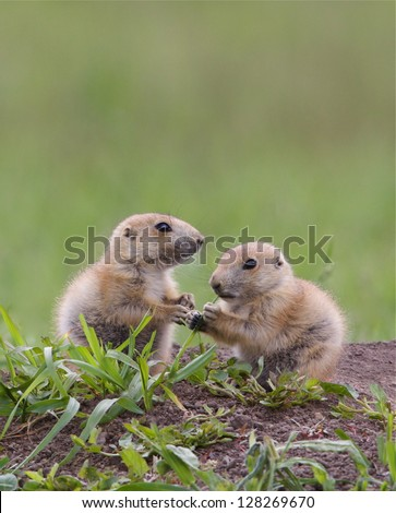 Black Tailed Prairie Dog babies playing and interacting at their hole in Custer State Park, South Dakota Cynomys ludovicianus grassland habitat environment wildlife and nature photography - stock photo