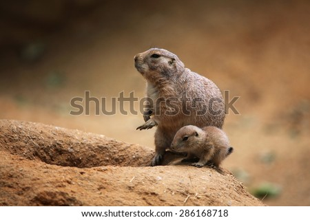 Black-tailed prairie dog (Cynomys ludovicianus). - stock photo