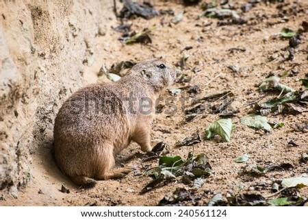 Black-tailed prairie dog (Cynomys ludovicianus). Animal theme. - stock photo