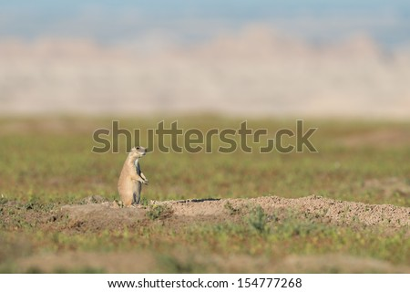 Black-tailed prairie dog (Cynomys ludovicianus) at Badlands National Park in South Dakota - stock photo
