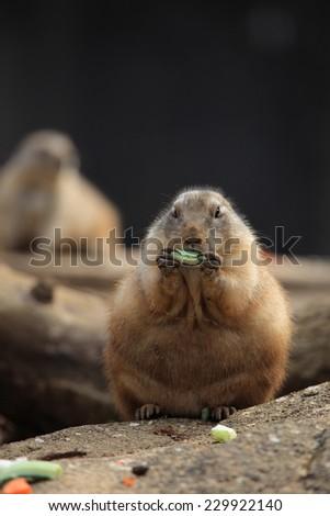 Black-tailed prairie dog (Cynomys ludovicianus) eating - stock photo