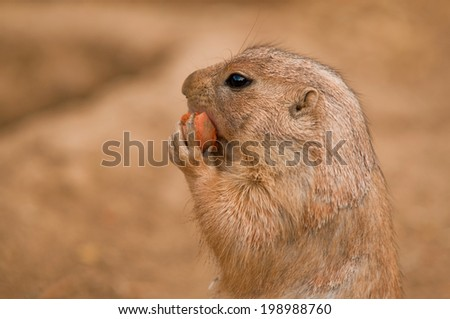 Black-Tailed Prairie Dog (Cynomys Ludovicianus) eating a carrot with blurred background. - stock photo
