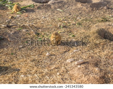 Black-tailed prairie dog (Cynomys ludovicianus) is a rodent of the family Sciuridae found in the Great Plains of North America. - stock photo