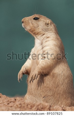 Black tailed prairie dog (Cynomys ludovicianus) standing on hind legs - stock photo