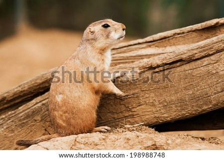 Black-Tailed Prairie Dog (Cynomys Ludovicianus) watching over piece of wood with blurred background. - stock photo