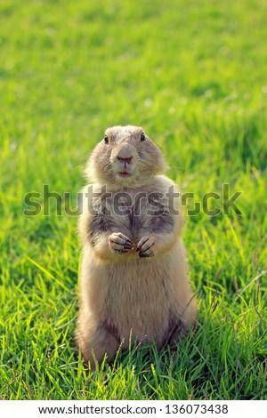 Black Tailed Prairie Dog feeding - stock photo