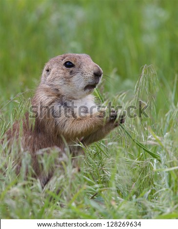 Black Tailed Prairie Dog feeding, Custer State Park, South Dakota Cynomys ludovicianus grassland habitat environment wildlife and nature photography Cynomys ludovicianus - stock photo