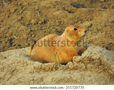 black-tailed prairie dog in broomfield, colorado - stock photo