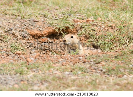 Black-tailed Prairie Dog peeking out from his burrow entrance - stock photo