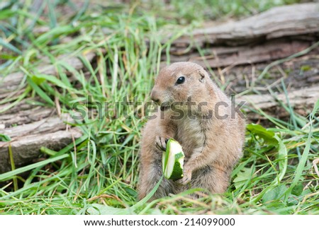 black tailed prairie dog sitting in the grass eating a piece of zucchini - stock photo