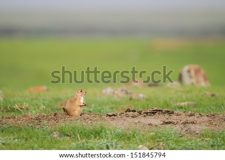 Black-tailed Prairie Dogs, Grasslands National Park Saskatchewan Canada - stock photo