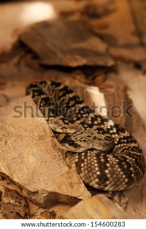 Black-tailed rattlesnake - Crotalus molossus